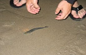 Grunion Run in the South Bay